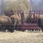 Buffalo Bale Feeder